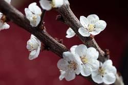 Zweige mit Pfirsichblüten
