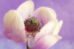 Anemonenblüte, weiss, violett, bald verwelkt