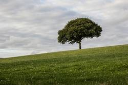 Lonely tree on a meadow.