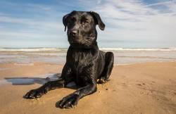Black labrador bitch at the beach.