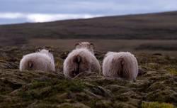 Schafe im Moos vor sanftem Hügel (Iceland)