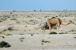 Freilaufendes Kamel