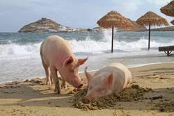 Zwei Schweine entspannen am Strand