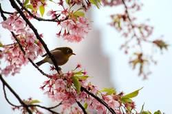 Mejiro in Tokyo zur Kirschblütenzeit