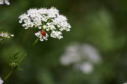 Ladybug on a white flower