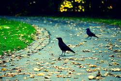 Two crows in park