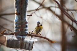 Blue Tit Parus minor