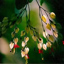 Dancing Jasmines