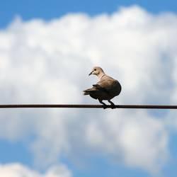 Die Taube auf dem Drahtseil! Teil 1