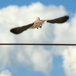 Die Taube auf dem Drahtseil! Teil 2