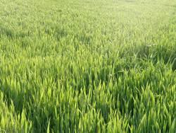Grünes Kornfeld