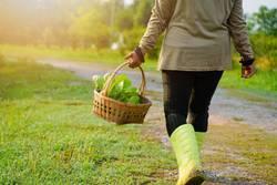 Farmer picking fresh organic vegetable in the basket