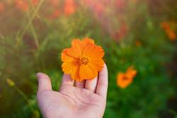 Hand holding blooming orange cosmos flower