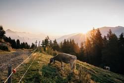 Sonnenaufgang | Kuh | Pitztaler Alpen
