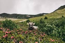 Kuh in den österreichischen Alpen