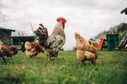 Hühner auf der Alm
