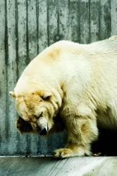 Eisbär - gschamig