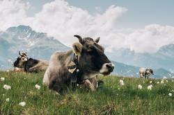 Kühe auf der Almwiese am Gipfel