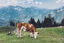 Kuh auf bayerischer Almwiese