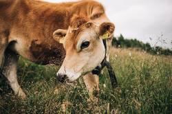 Kuh auf Almwiese in Österreich