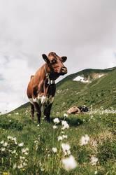 Kuh im österreichischen Pitztal