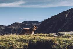 Hund auf Berggipfel