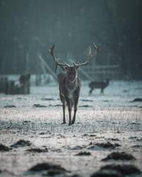 Hirsch bei Sonnenaufgang in Winterlandschaft