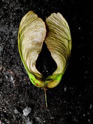 Ahorn Frucht