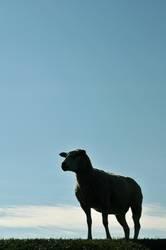 Das Genever-Schaf