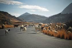 Wolle auf Wanderschaft