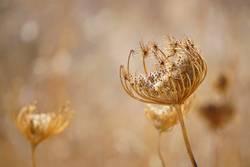 Trockene Blüte auf Sardinien
