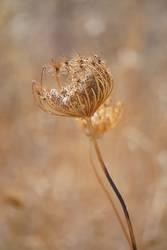 Trockenblume