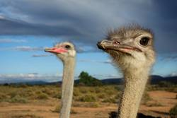 Ostrich - couple watching sky - female focussed