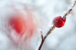 frostige Frucht