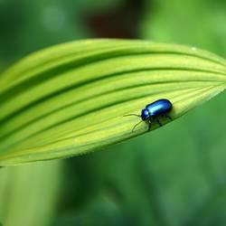Kleiner Blauer auf grossem Grün