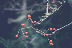 Vogelbeeren im Wald