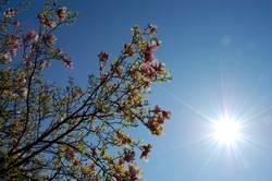 Tulpen am Baum