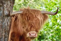 Highland, feuerrotes Haar