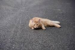 Katze, Rottiger