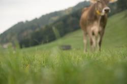 Braunvieh Kuh grast auf der Wiese in der Natur