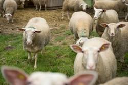 Schafe in der Herde auf der Wiese vor dem Stall