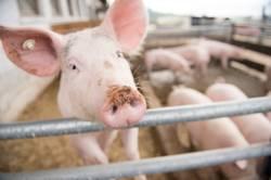 Schwein im Schweinestall am Bauernhof im Freien