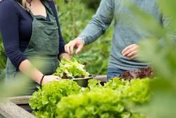 Mann und Frau beim Salat ernten vom Hochbeet im Garten