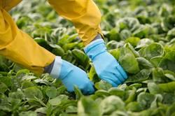 Gemüseernte in der Landwirtschaft mit den Händen am Feld