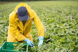 Junger Landwirt arbeitet auch seinem Gemüsefeld