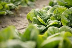 Blattspinat frisch vom Feld reif für die Ernte