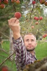 Junger Obstbauer pflückt Äpfel bei der Ernte