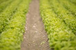 Gemüsefeld mit frischem Blattsalat bereit zur Ernte