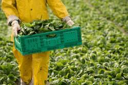 Ernte von Spinat am Gemüsefeld
