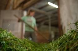 Junge Bäuerin beim füttern der Kühe mit Gras im Kuhstall